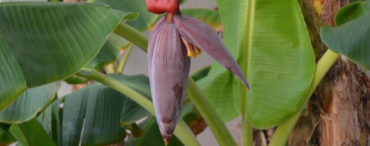 Cay-chuoi