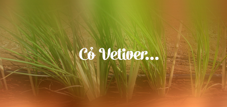 Co-Vetiver